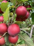 Apples waiting to be picked royalty free stock photo