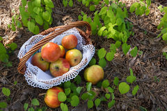 Fresh Apples in wicker basket on grass . Stock Images