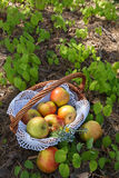 Fresh Apples in wicker basket on grass . Royalty Free Stock Photos