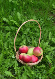 Fresh apples in a wood baskets on a grass Stock Image