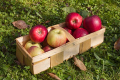 Fresh apples in a wooden basket Royalty Free Stock Images