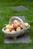 Fresh apples in a wooden trug Stock Photos