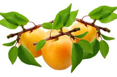 Fresh apricot Royalty Free Stock Photo