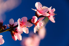 Fresh apricot blossom against blue sky background Royalty Free Stock Image