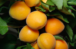 Fresh apricots on a tree Stock Photos