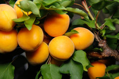 Fresh apricots on a tree Royalty Free Stock Photo