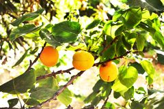 Fresh apricots on a tree Royalty Free Stock Images