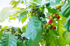 Fresh arabica coffee bean on tree. At mountain northern of Thailand Royalty Free Stock Photography