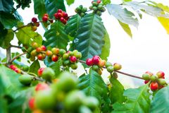 Fresh arabica coffee bean on tree. At mountain northern of Thailand Stock Photo