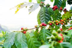 Fresh arabica coffee bean on tree. At mountain northern of Thailand Royalty Free Stock Photo