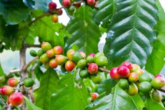 Fresh arabica coffee bean on tree at mountain. Northern of Thailand Stock Images