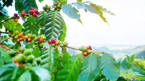 Fresh arabica coffee bean on tree at mountain. Northern of Thailand Royalty Free Stock Photography