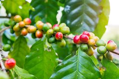 Fresh arabica coffee bean on tree. At mountain northern of Thailand Stock Image