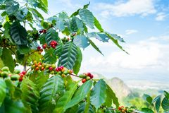 Fresh arabica coffee bean on tree. At mountain northern of Thailand Stock Images
