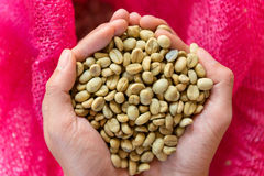 Fresh Arabica coffee beans in hands, before roasted Stock Photos