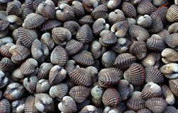 Fresh Ark clams stock images