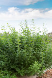 Fresh aroma mint growing in garden Stock Photography