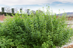 Fresh aroma mint growing in garden Stock Images