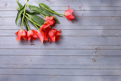 Fresh  aromatic coral tulips  on grey  painted wooden background Stock Images
