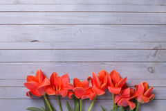 Fresh  aromatic coral tulips  on grey  painted wooden background Stock Photo