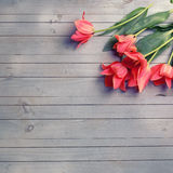Fresh  aromatic coral tulips  on grey  painted wooden background Royalty Free Stock Photography