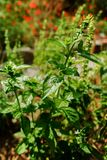 Fresh aromatic herbs basil plant in the garden. Growth outside royalty free stock images