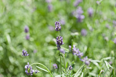 Fresh aromatic lavender in basket macro outdoor Stock Photography