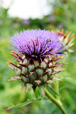 Fresh artichoke flower in field garden bio Royalty Free Stock Photography