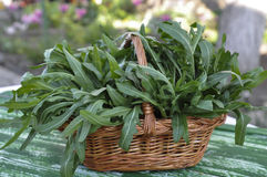 Fresh arugula in basket Royalty Free Stock Photo