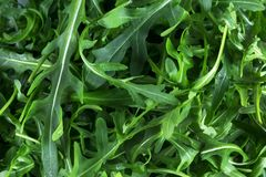 Fresh arugula Eruca, cruciferous plant and cabbage Brassicaceae close-up. royalty free stock photo