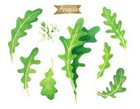 Fresh Arugula leaves and flowers isolated on white watercolor illustration. Watercolor illustration of fresh Arugula leaves  isolated on white background with Stock Images
