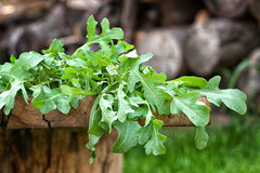 Fresh arugula leaves stock images