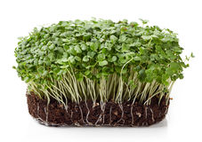 Fresh arugula sprouts. Isolated on white background Royalty Free Stock Photography