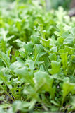 Fresh arugula Royalty Free Stock Photo