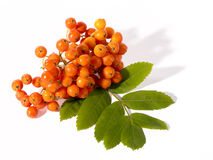 Fresh ashberry Royalty Free Stock Photos
