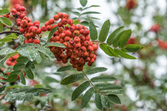 Fresh ashberry royalty free stock photography