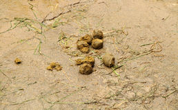 Fresh asia elephant dung. The Fresh asia elephant dung Royalty Free Stock Images