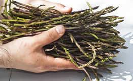 Fresh asparagus in his hands Stock Images