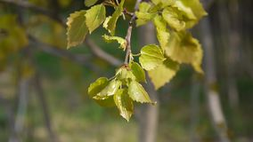 Fresh aspen leaves in spring tremble in the wind. stock video