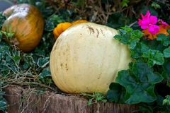 Fresh assorted pumpkin and squash in an autumn garden stock photo
