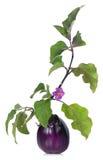 Fresh aubergine Royalty Free Stock Images