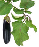 Fresh aubergine Stock Image
