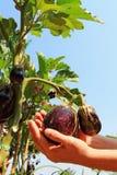 Fresh aubergine on vegetable garden Royalty Free Stock Photos