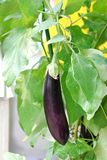 Fresh aubergine on vegetable garden Stock Photos
