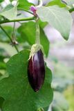Fresh aubergine on vegetable garden Royalty Free Stock Images