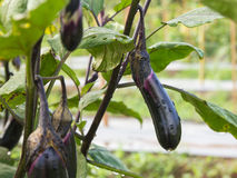 Fresh aubergine water with drop at vegetable Stock Images