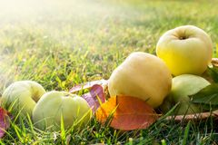 Picture with apples. Royalty Free Stock Image