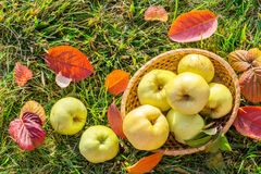Picture with apples. Stock Image