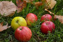Fresh autumn apples Royalty Free Stock Image