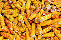 Fresh autumn corn cob harvest in chimney Royalty Free Stock Images